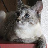 Nina, Chaton européen, siamois à adopter