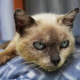 Becassine, Chat siamois à adopter