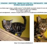 Ulysse, Chaton  à adopter