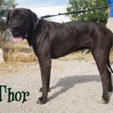 Thor, Chien  à adopter
