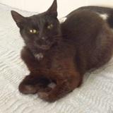 Nouchka, Chat  à adopter