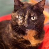 Jasmine, Chat européen à adopter