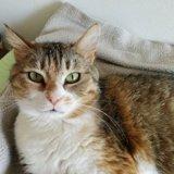 Kalia, Chat européen à adopter