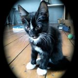 Frimousse, Chaton  à adopter