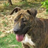 Yvette, Chien bull terrier à adopter