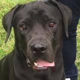 Norton, Chien cane corso à adopter