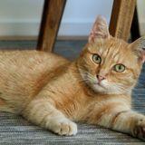 Jujube chat tigré/roux de 2 ans, Chat à adopter