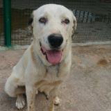 Snoopy, Chien mâtin espagnol à adopter