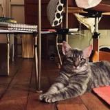Tiki, est à réserver, Chat européen à adopter