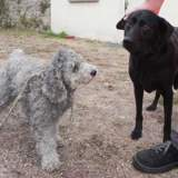 Elysee et fanny, Chien labrador retriever à adopter