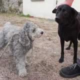 Fanny et elysee, Chien caniche à adopter
