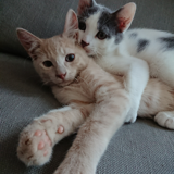 Obby et chat'lumeau, Chaton européen à adopter