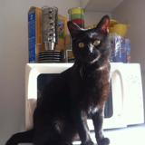 Horion, Chat européen à adopter
