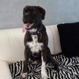 Falco, Chien boxer, cane corso à adopter