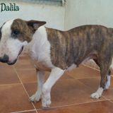 Dalila, Chien  à adopter