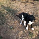 Oki, Chiot beagle, border collie à adopter