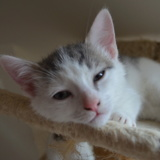 Osmond, Chaton  à adopter