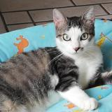 Cléo, Chat européen à adopter