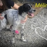 Melindo, Chien setter anglais à adopter