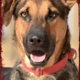 Salao, Chien berger allemand à adopter