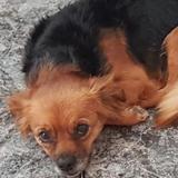 Cati, Chien chien courant espagnol, pékinois à adopter