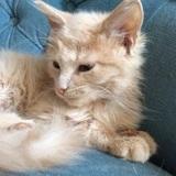 Oliver chaton crème poils longs de 3 mois 1/2, Chaton  à adopter