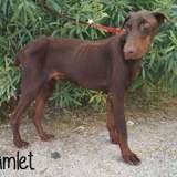 Hamlet, Chien dobermann à adopter