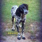 Helios, Chiot setter anglais à adopter