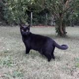 Fleur, Chat européen à adopter