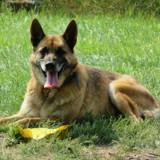 Hulysse, Chien berger allemand, berger belge à adopter