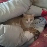 Jean-michel, Chat européen à adopter