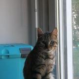 Calin, Chat européen à adopter