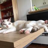 Arya & willow, Chaton européen, siamois à adopter