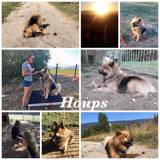 Houps, Chien eurasier à adopter