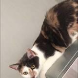 Maïra, Chat  à adopter