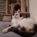 Nala, Chat européen à adopter
