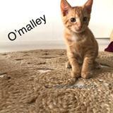 "O""malley, Chaton à adopter"