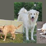 Glover, Chien chien de montagne des pyrénées à adopter