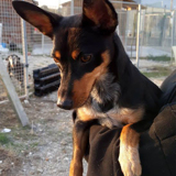 Calima, Chien pinscher à adopter