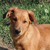 Olli, Chiot labrador retriever à adopter