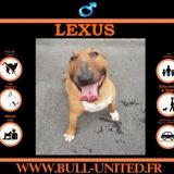 Lexus, Chien bull terrier à adopter