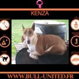 Kenza, Chien bull terrier à adopter