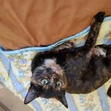 Esmeralda, Chat européen à adopter