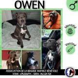 Owen (croisé dogue), Chiot à adopter