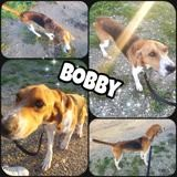 Bobby, Chien beagle à adopter