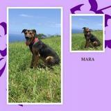 Mara, Chien berger allemand à adopter