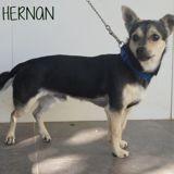 Hernan, Chiot à adopter