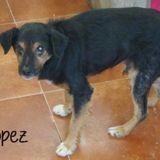Lopez, Chien à adopter
