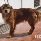 Pablo, Chien à adopter