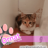 Ornat d'arville, Chaton à adopter